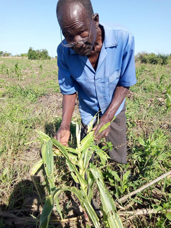 Mozambique pest damage to maize crop