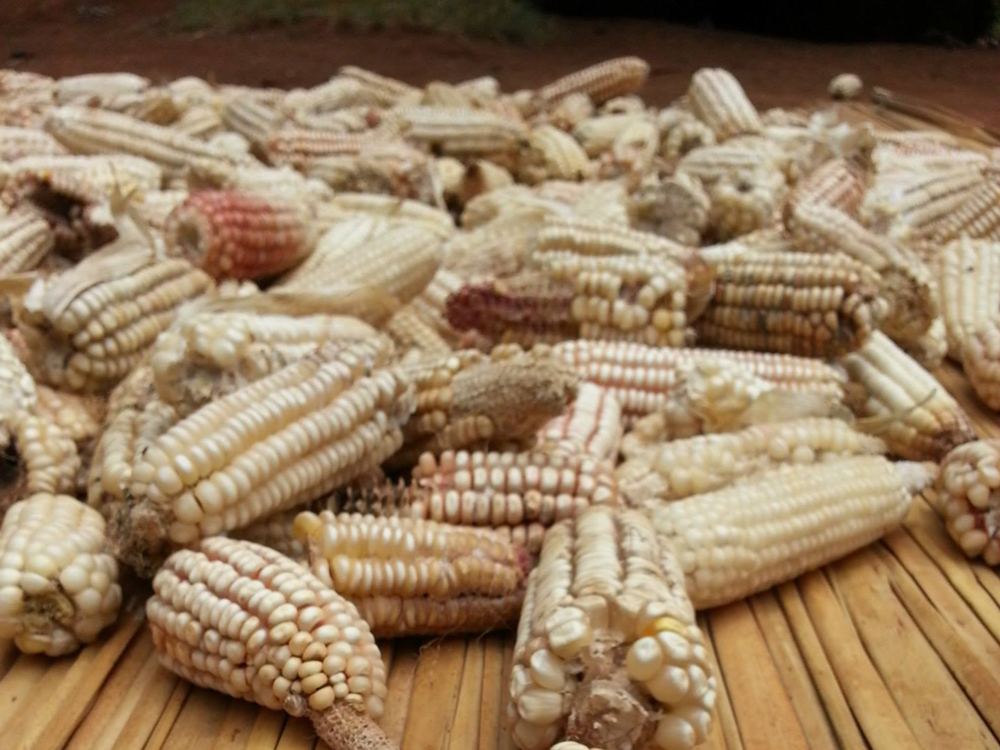 Maize produced in western Kenya