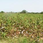 cotton in Burkina Faso