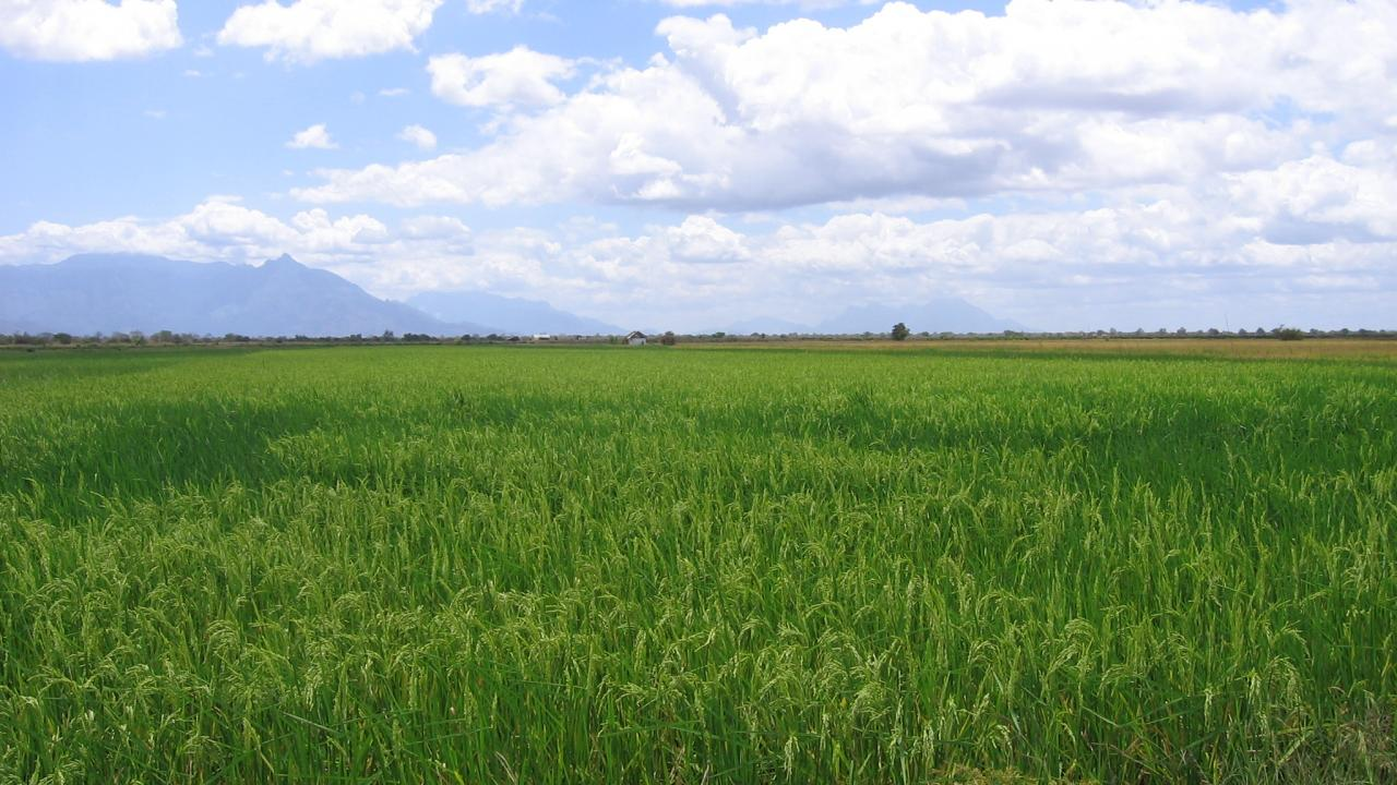 Rice farm in Tanzania