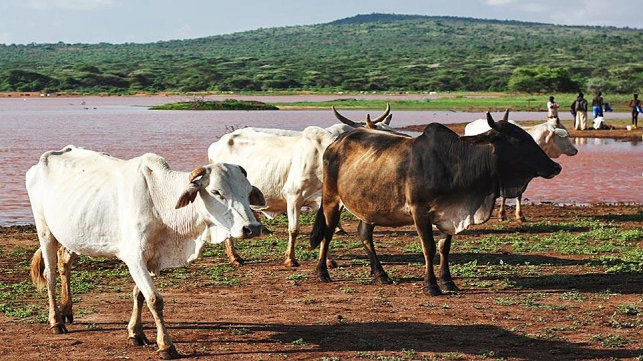 cattle in Kenya