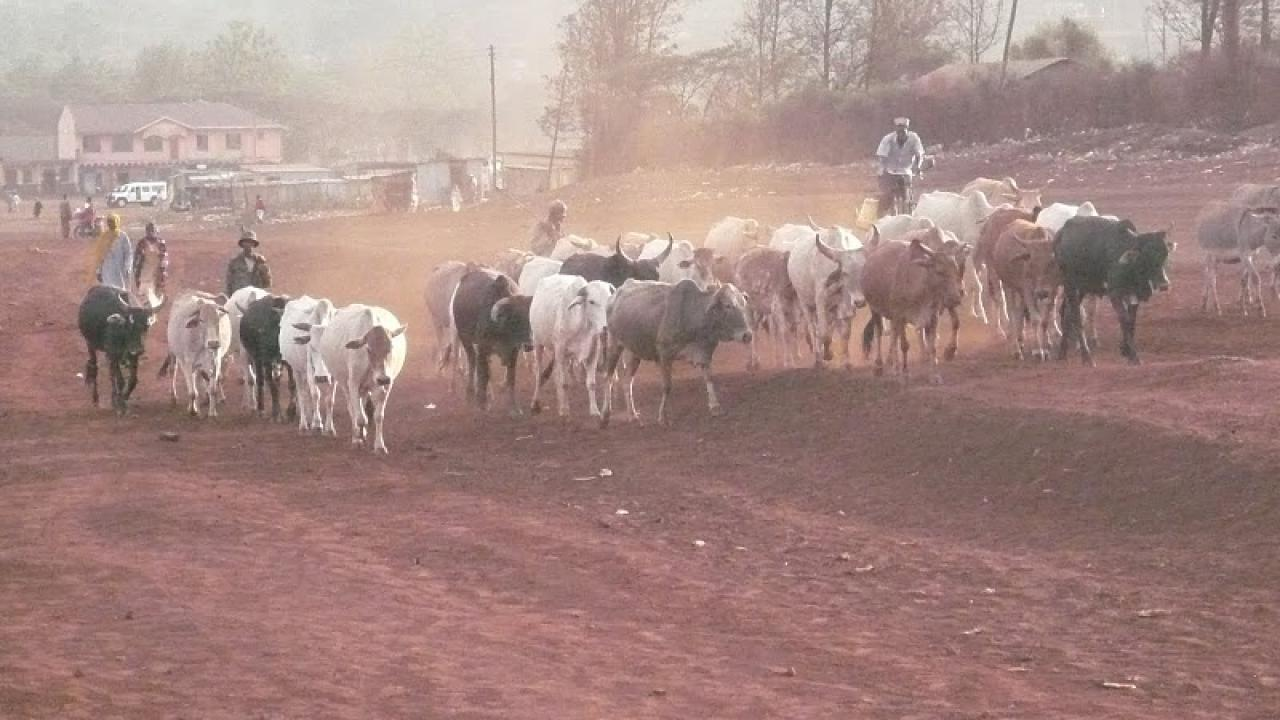 cattle in Marsabit
