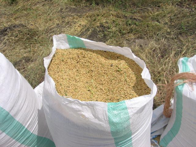 harvested rice