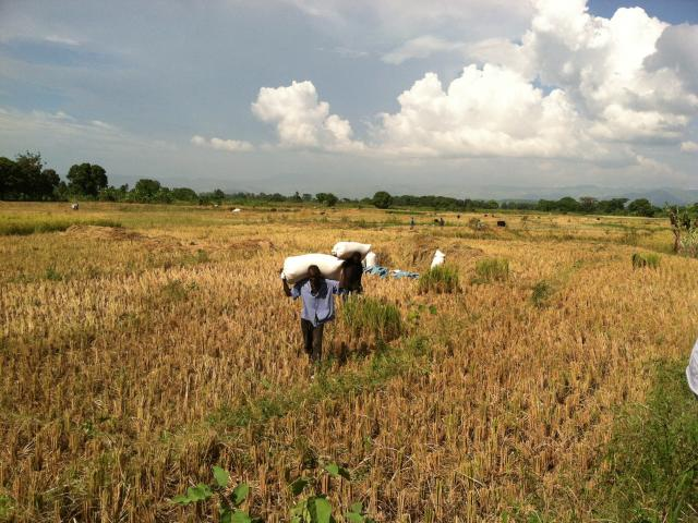 Rice farmers in Haiti