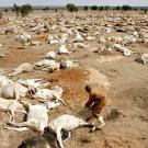 Laying, drought-stricken cows